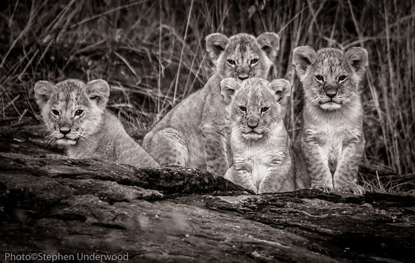 Maasai Mara lion cubs photo