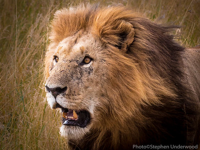 Stare.  The lion 'Ron', one of the sons of 'Notch'.  August 2015.