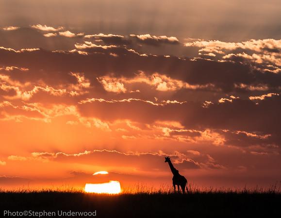 Masai giraffe sunset picture
