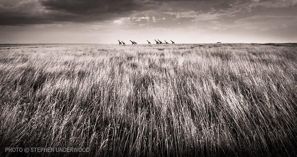 Herd of giraffes on the Masai Mara in Kenya