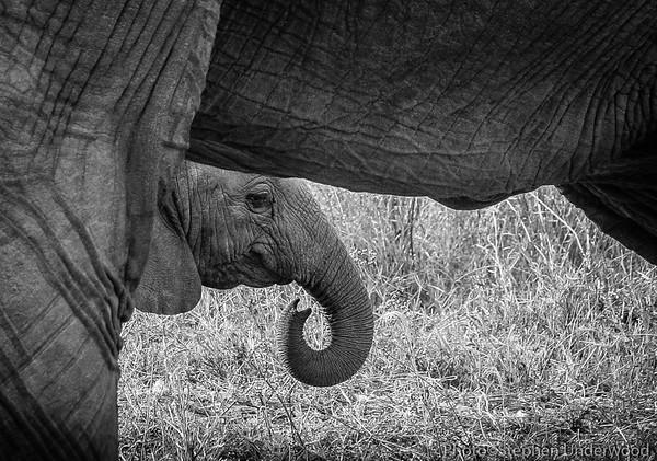 Maasai Mara African baby elephant photo