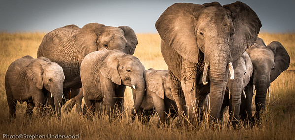 Masai Mara African elephant herd picture