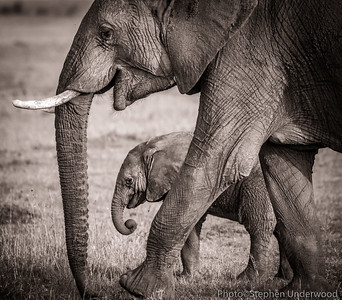 Maasai Mara African elephant baby picture