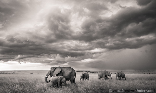 Masai Mara African elephant herd photo