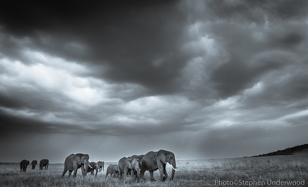 Maasai Mara African elephant herd photo