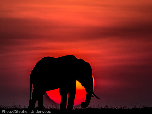 Masai Mara African elephant sunset picture