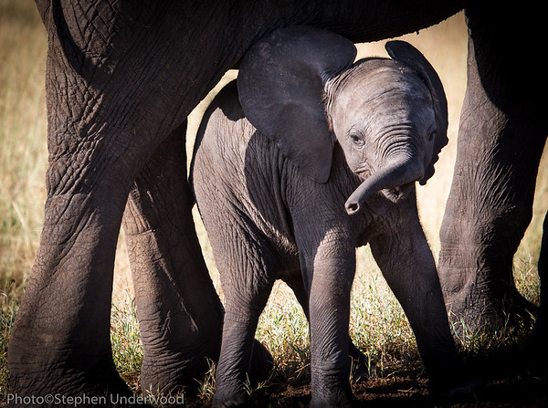 Maasai Mara African elephant calf photo