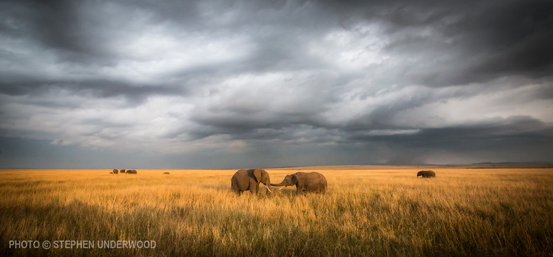 Picture of Maasai Mara elephants
