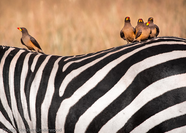 Maasai Mara zebra and oxpecker picture