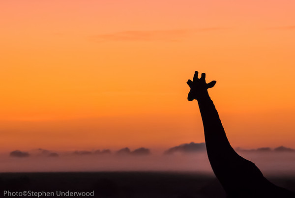 Maasai Mara giraffe sunset photo
