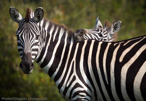 Masai Mara zebra baby