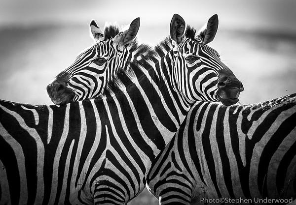 Maasai Mara zebra picture