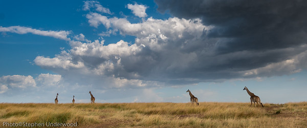 Maasai giraffes on the Masai Mara in Kenya