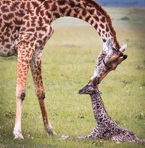 Masai Mara baby giraffe