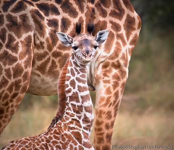 Baby Maasai giraffe