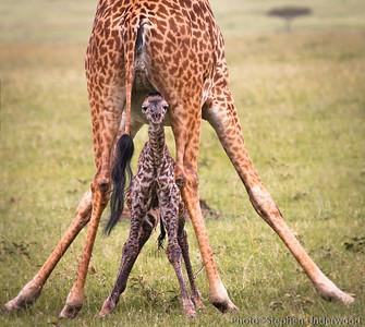 Maasai Mara baby giraffe