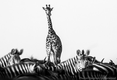 Masai giraffe and zebras, Kenya