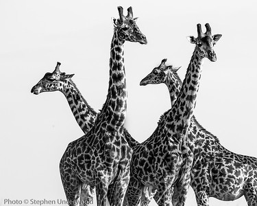 Photo of Maasai giraffes