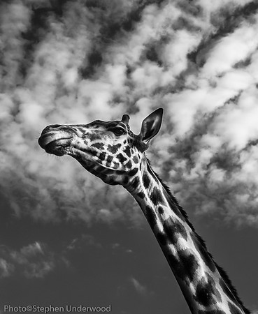 Masai Mara giraffe photo