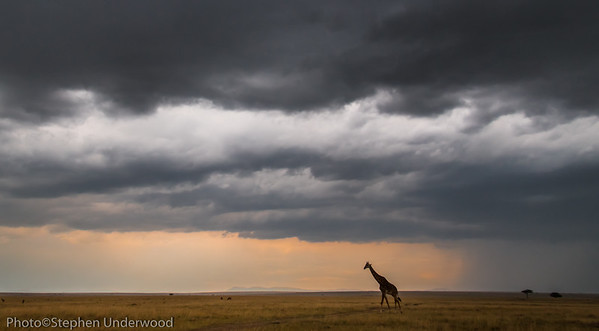 Picture of Masai giraffe in Kenya