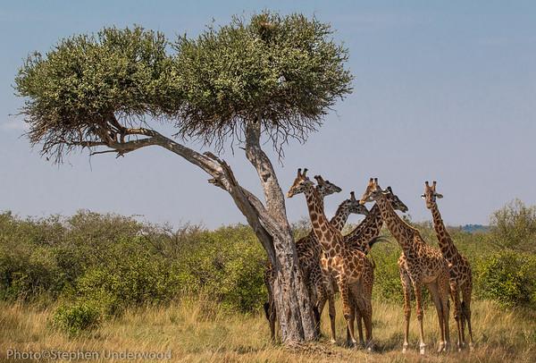 Masai giraffes, Kenya