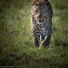 Prowling leopard. 'Shujaa', son of 'Siri'.  April 2014.