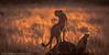 The cheetah 'Malaika' and cub.  August 2012.