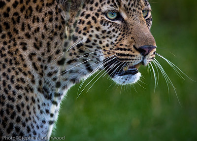 Leopard eyes.  'Bahati', daughter of 'Olive'.  March 2014.