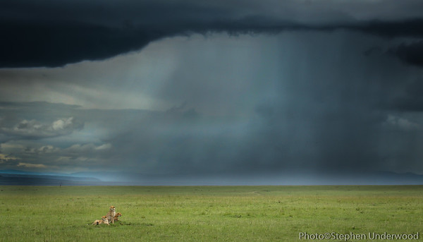 Cheetahs brothers known as 'Honey's boys' in a Masai Mara storm.  February 2010.