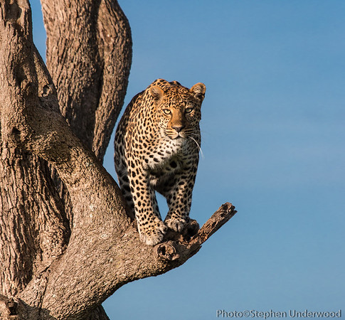 A glare from the leopard 'Siri'.  April 2014.