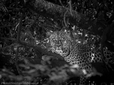 The leopard 'Nalangu'.  June 2013.
