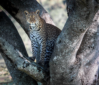 The leopard 'Zawadi', known as 'Shadow' in the BBC's Big Cat Diary.  February 2010.
