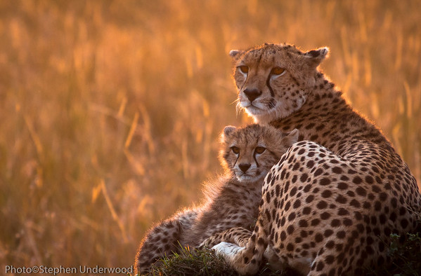 The cheetah 'Malaika' and cub.  August 2012.