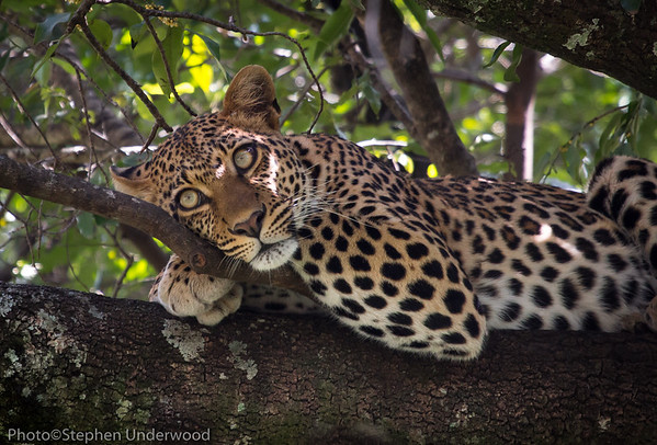 The leopard 'Nalangu' relaxing.  June 2013.