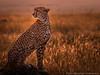 The cheetah 'Malaika'.  August 2012.