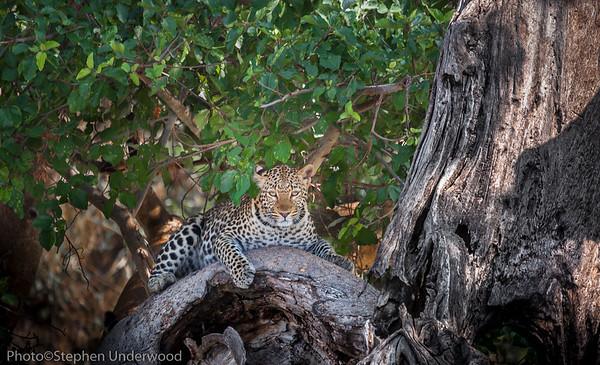 Leopard pose