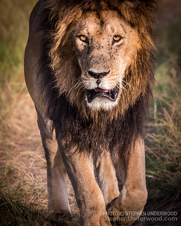 The lion 'Blackie', one of the '4km coalition' of male lions on the Masai Mara.  March, 2016.