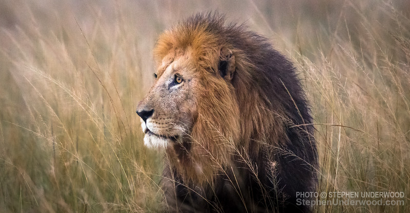 The lion 'Caesar', one of the sons of 'Notch'.   March, 2016.