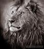 Maasai Mara male lion