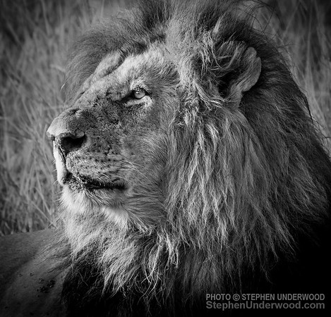 The lion 'Lipstick', one of the '4km coalition' of male lions on the Masai Mara.  March, 2016.