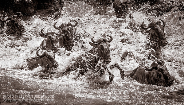 Wildebeest strugging to cross the Mara River during their annual migration