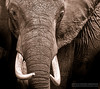 African elephant on the Masai Mara
