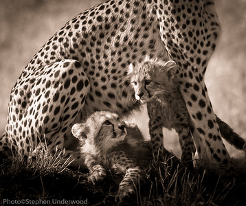 Picture of Maasai Mara cheetah cubs
