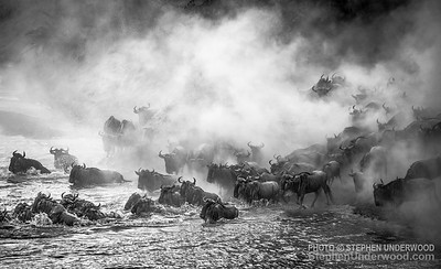 Migrating wildebeest kick up dust as they cross the Mara River