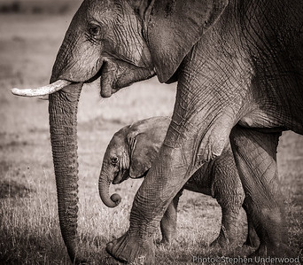 Masai Mara baby African elephant photo