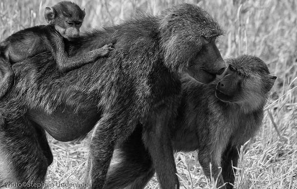 Masai Mara baboons