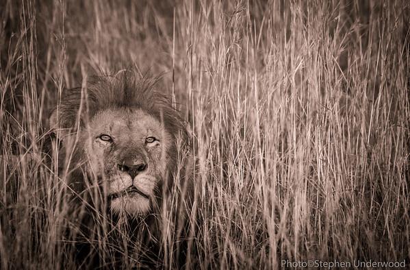 Maasai Mara Kenya African lion picture