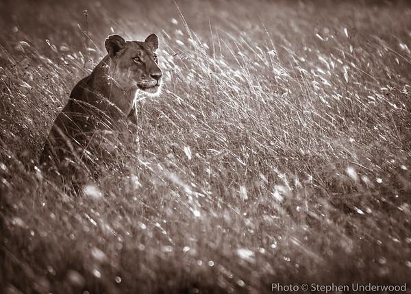 Maasai Mara lioness