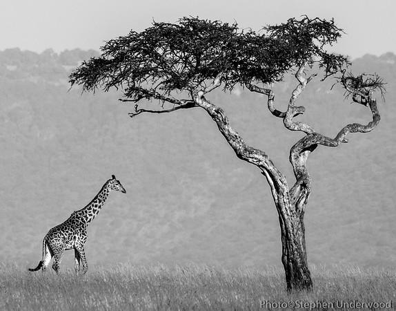 Maasai Mara African giraffe picture