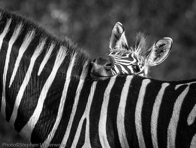 Maasai Mara baby zebra